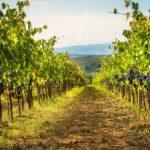Vineyards of Hvar